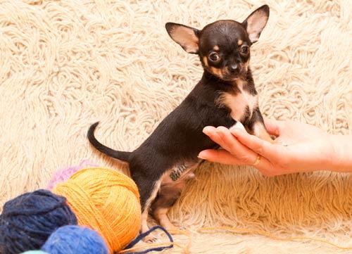 Чихуахуа щенок