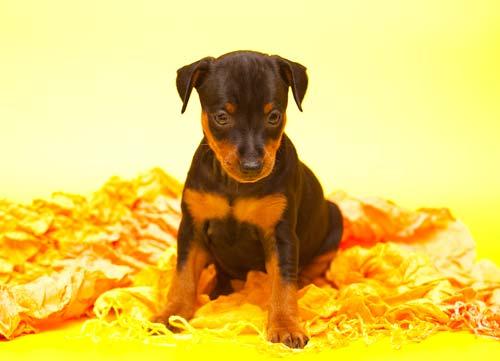Цвергпинчер щенок, цверг пинчер щенок, карликовый пинчер щенок, цверг-пинчер щенок, миниатюрный пинчер щенок, минпин щенок, питомник Арт-Атлантис